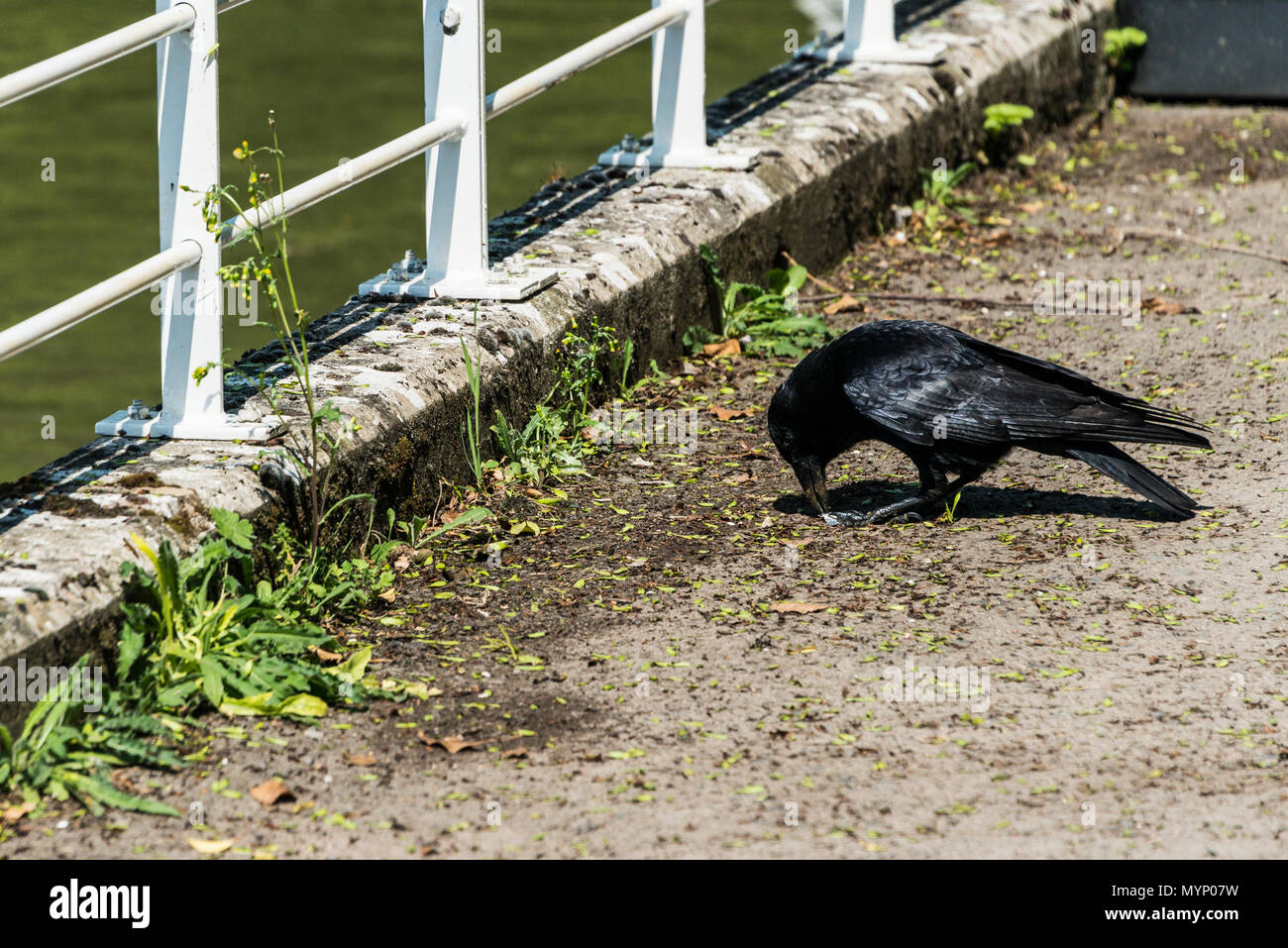 A carrion crow (Corvus corone) pecking at litter on the towpath by the Kennet & Avon canal - Stock Image