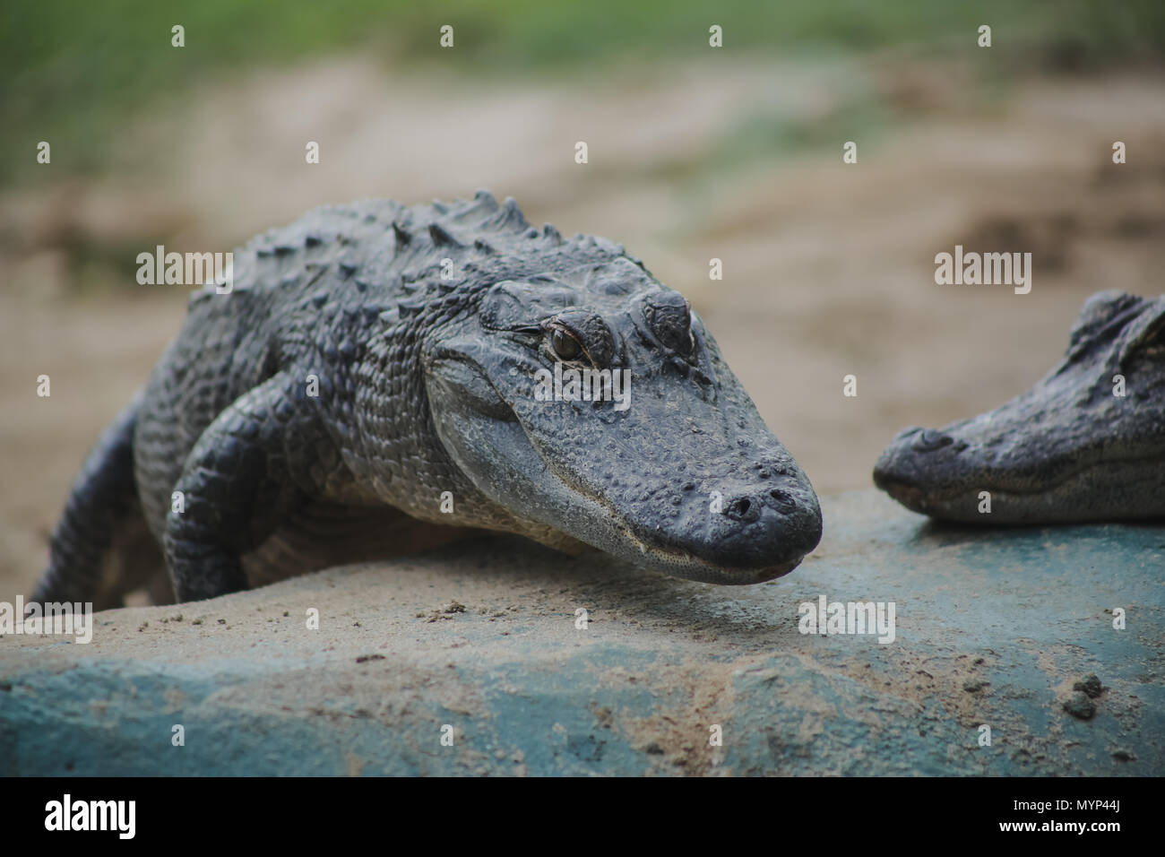 Alligator - Stock Image