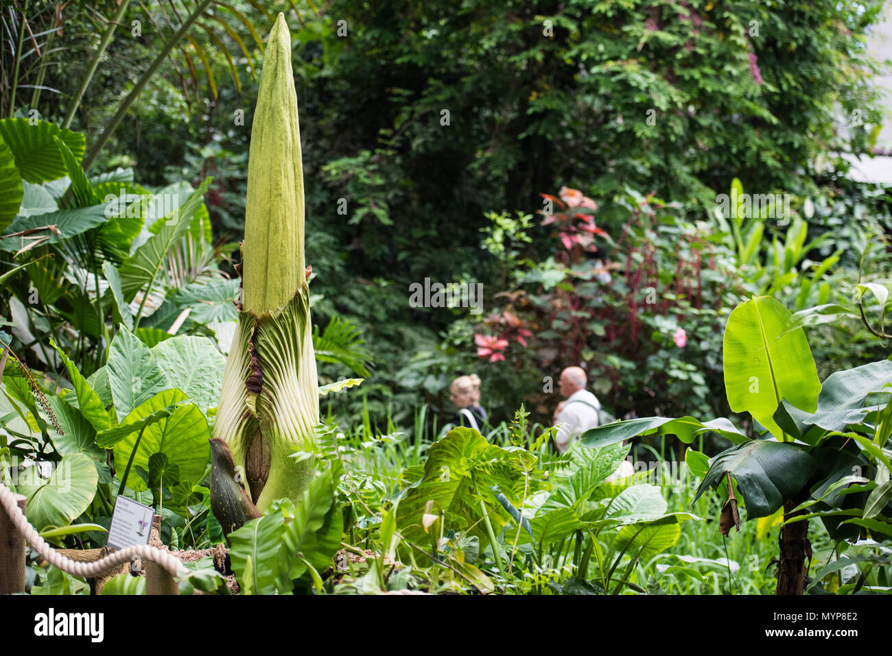 A Titan Arum at the Eden Project (Summer 2018, 7th June). - Stock Image