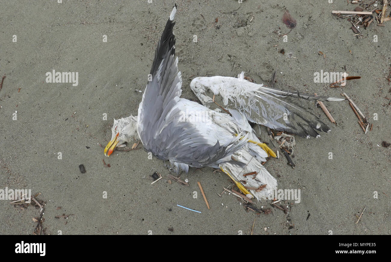 dead seagull corpse on a solitary shore - Stock Image