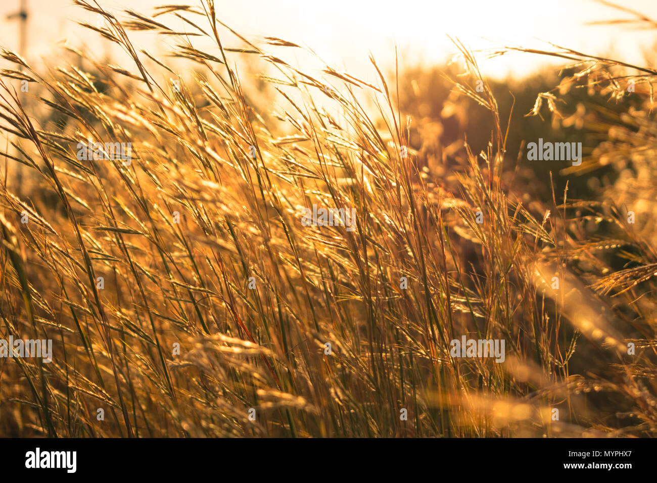 Bright golden color high grass with low depth of field background - Stock Image