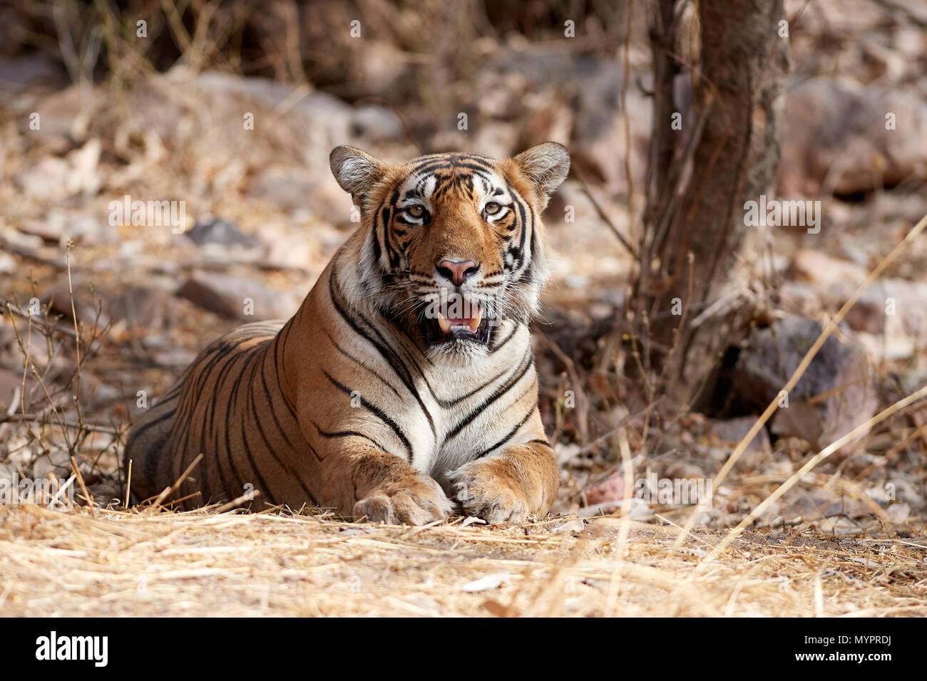 Junior Indu's male tiger cub - Stock Image