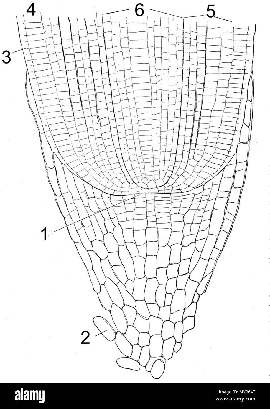 root tip anatomy, Medianer Längsschnitt durch Wurzelspitze von ...