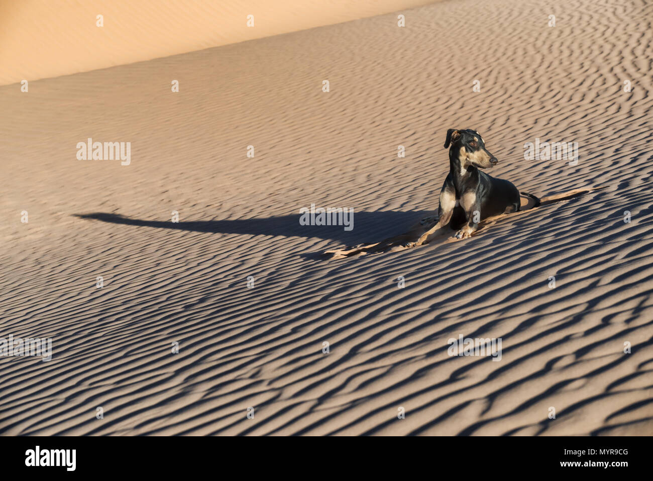 A young black Sloughi dog (Arabian greyhound) rests in the sand dunes in the Sahara desert of Morocco. High key image with muted colours. - Stock Image