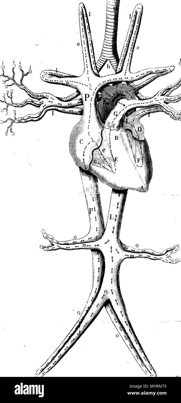 English Fleuron From Book An Explanation Of The Figure Of Anatomy