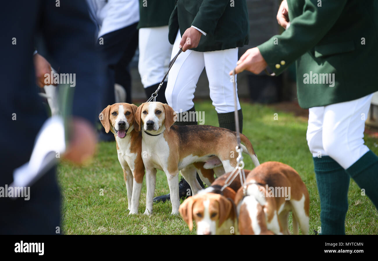 Ardingly Sussex UK 8th June 2018 - at the South of England Show in beautiful sunny weather held at the Ardingly Showground near Haywards Heath Sussex Credit: Simon Dack/Alamy Live News - Stock Image