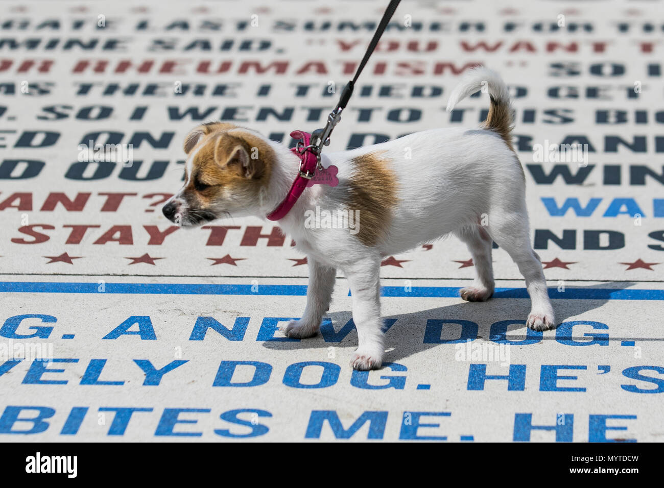 Blackpool, Lancashire. UKWeather.  08/06/2018.  Bright sunny day out for new Jackuahua dog Chico chihuahua cross at 14 weeks old, as he explores the coastal promenade. Residents, holidaymakers, day trippers and tourists take a stroll on the seafront attraction, a comedy pavement or comedy carpet on the promenade tower headland. The Jack Chi is a cross between a purebred Chihuahua and Jack Russell Terrier. Credit: MediaWorldImagesAlamyLiveNews. - Stock Image