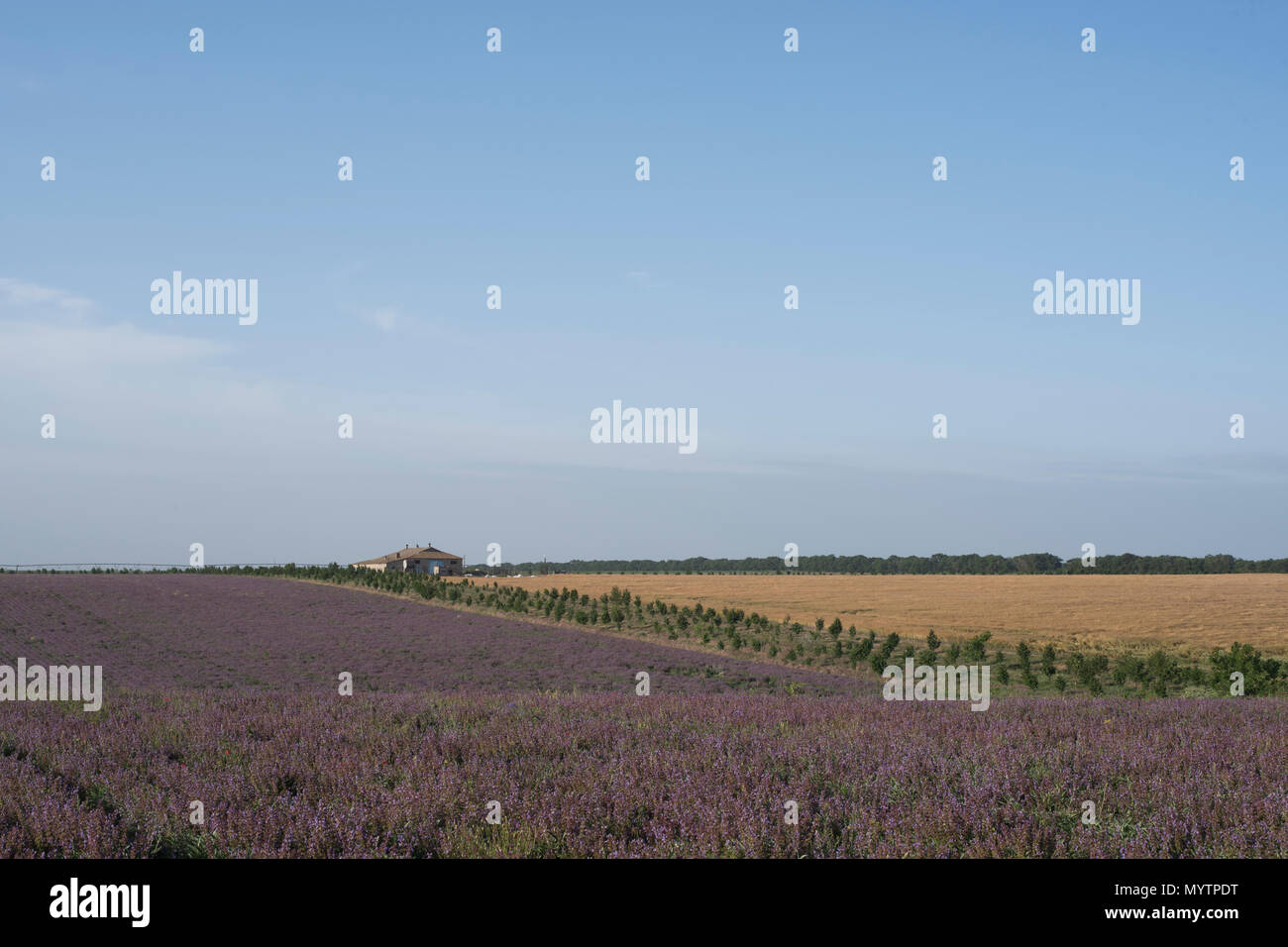 Field of lilac flowers near the house summer landscape Stock Photo