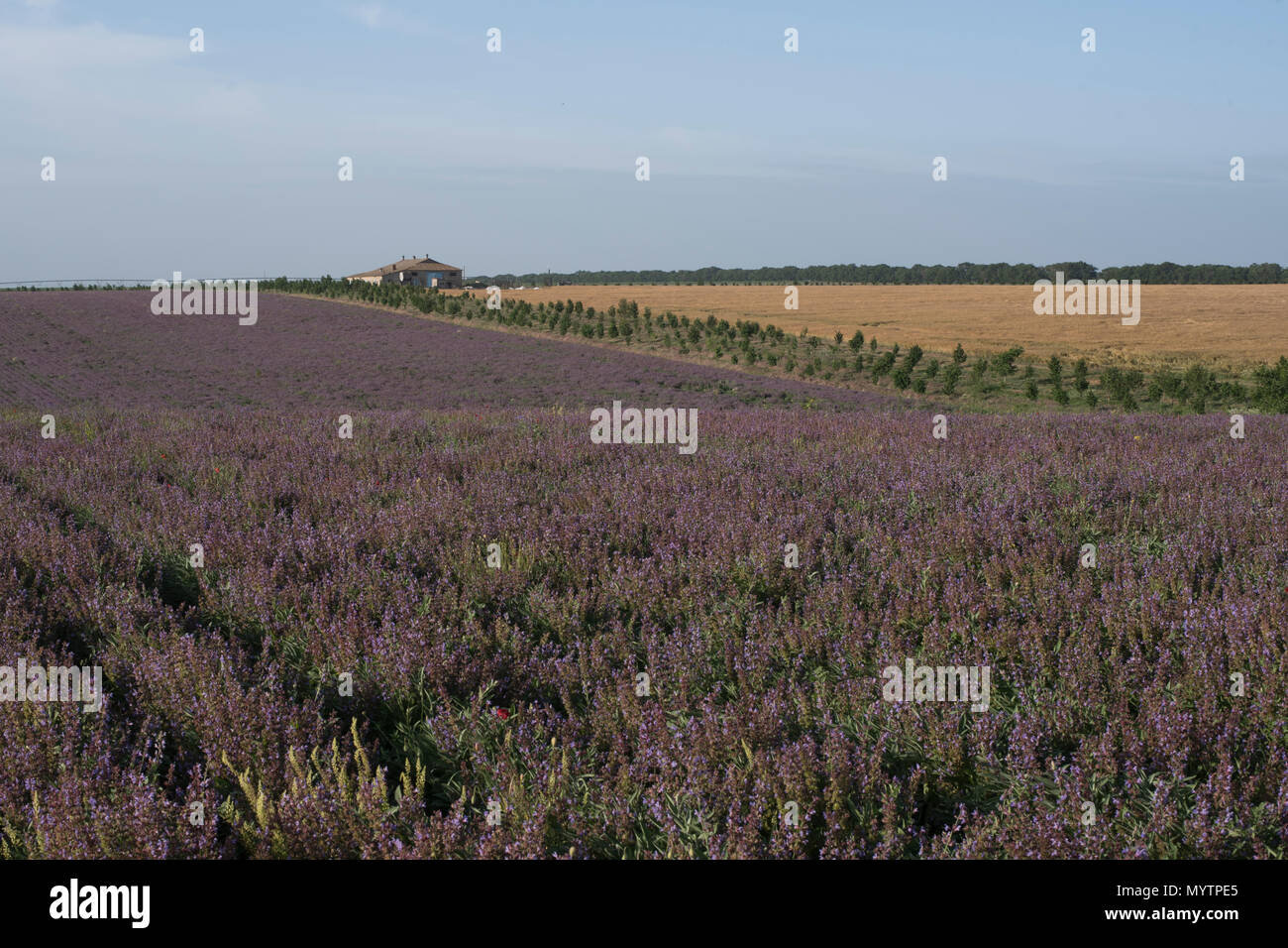 Field of lilac flowers near the house summer landscape close up Stock Photo