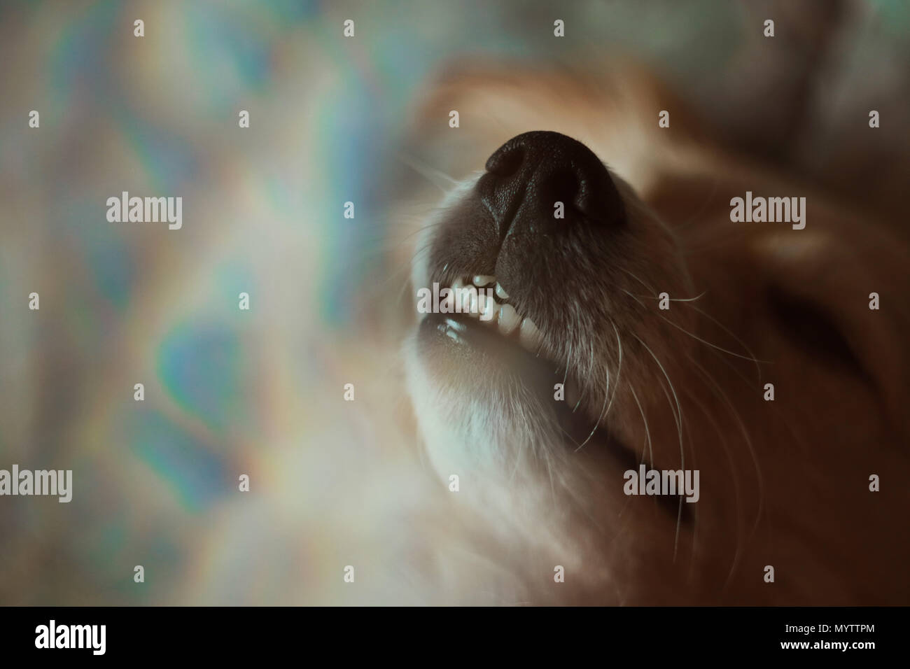 Smiling dog with rainbow lights - Stock Image