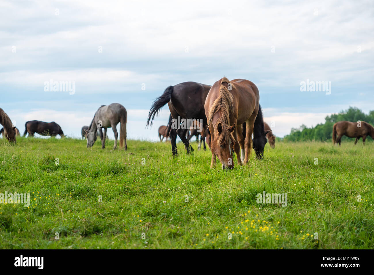 Herd of horses grazing in a meadow, beautiful rural landscape with cloudy sky. Stories about rural life in Ukraine Stock Photo