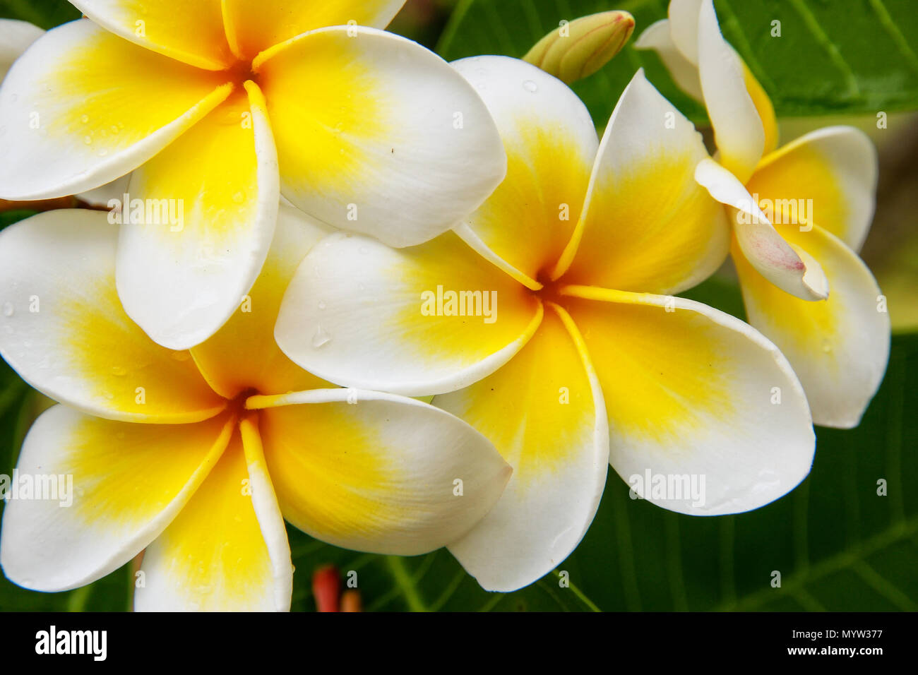 White And Yellow Plumeria Flowers On A Tree Stock Photo 189250747