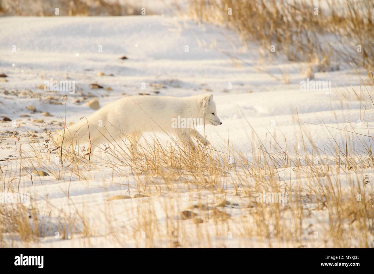 Arctic fox (Vulpes lagopus) Hunting in shoreline grasses, Churchill Wildlife Management area, Churchill, Manitoba, Canada Stock Photo