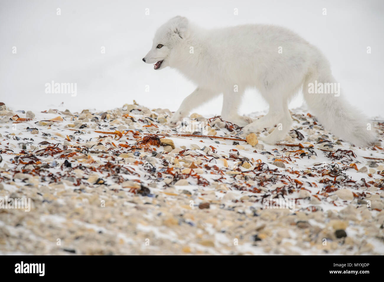 Arctic fox (Vulpes lagopus) Hunting along Hudson Bay gravel beach Stock Photo