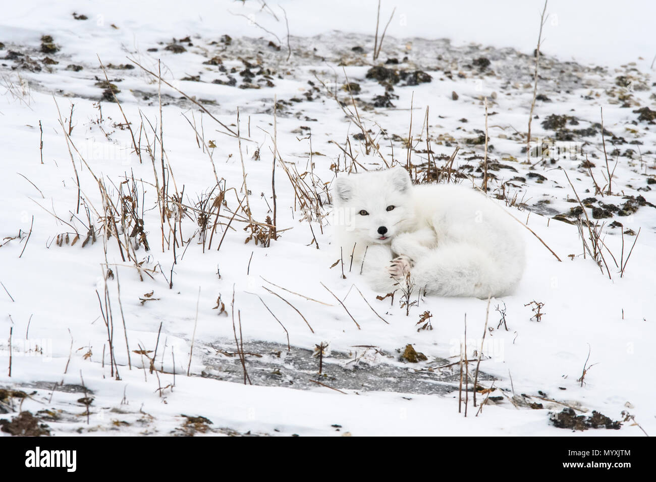 Arctic fox (Alopex, Vulpes lagopus) Resting on Hudson Bay coastal beach, Wapusk NP, Cape Churchill, Manitoba, Canada - Stock Image