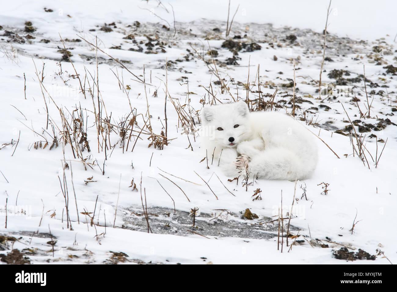 Arctic fox (Vulpes lagopus) Resting on Hudson Bay coastal beach, Wapusk National Park, Cape Churchill, Manitoba, Canada Stock Photo
