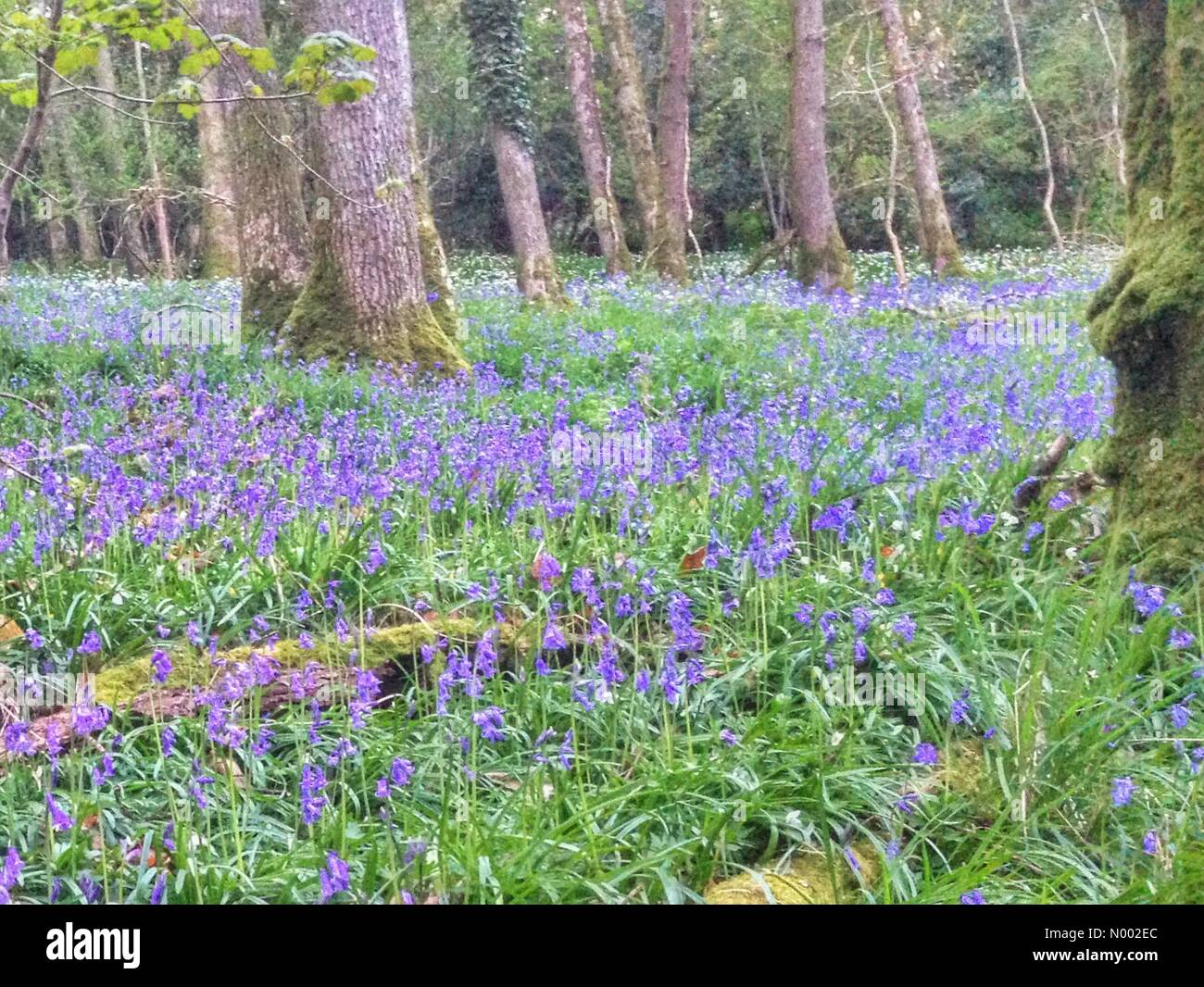Doddiscombsleigh, Devon, UK. 25th Apr, 2015. Carpet of bluebells and wild garlic in Doddiscombsleigh, Devon Credit: - Stock Image