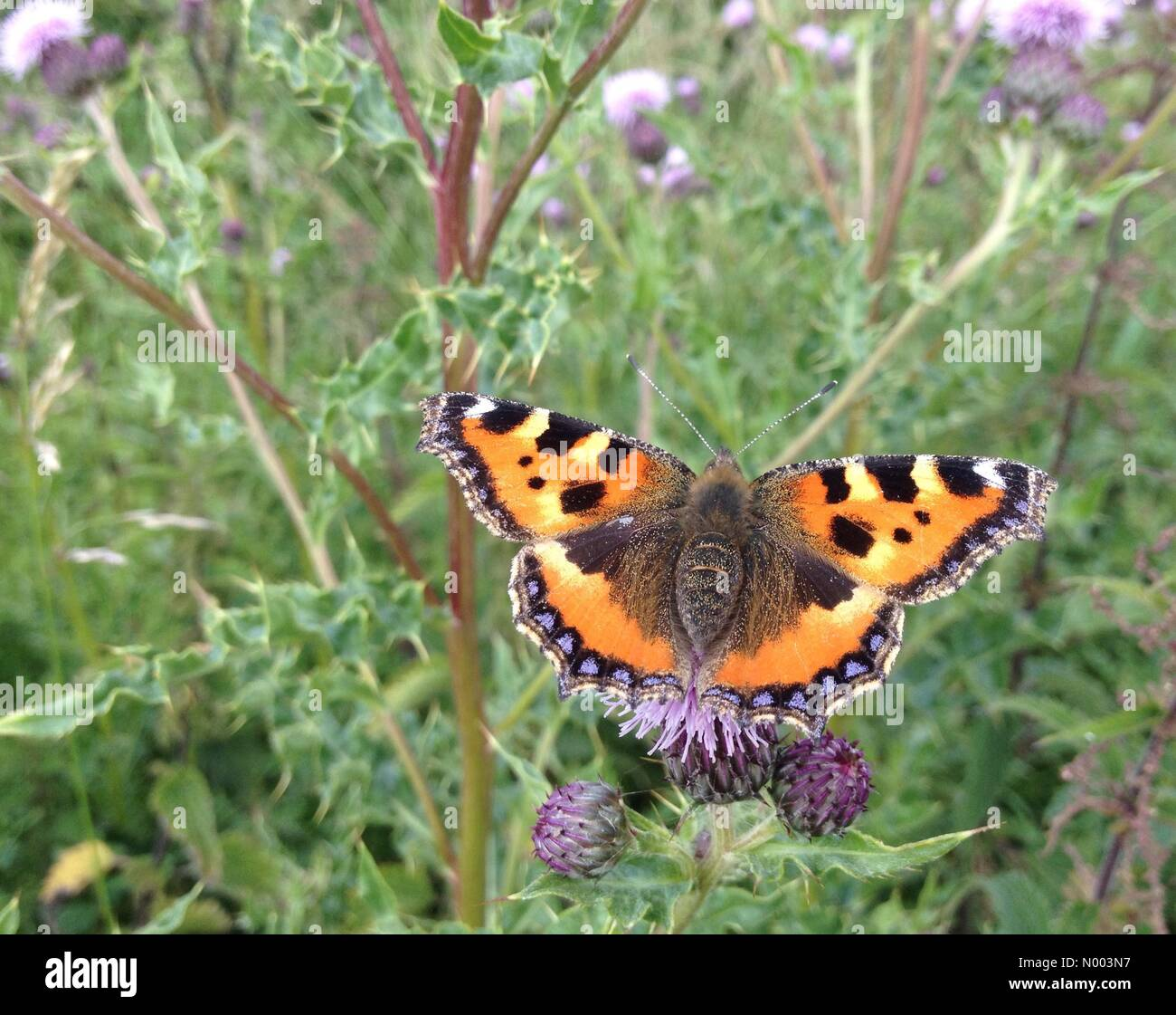 UK weather - insects in West Yorkshire. A sunny day in Leeds, West Yorkshire enticed the insects out. This tortoiseshell - Stock Image
