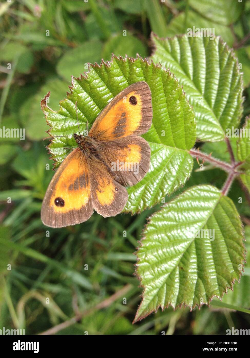 UK weather - insects in West Yorkshire. A sunny day in Leeds, West Yorkshire enticed the insects out. This gatekeeper - Stock Image