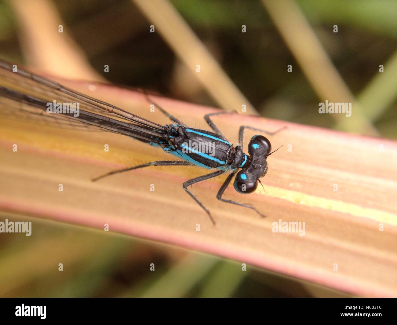 UK weather, insects in West Yorkshire. A warm but cloudy day gave insects a chance to be out working. This damselfly - Stock Image