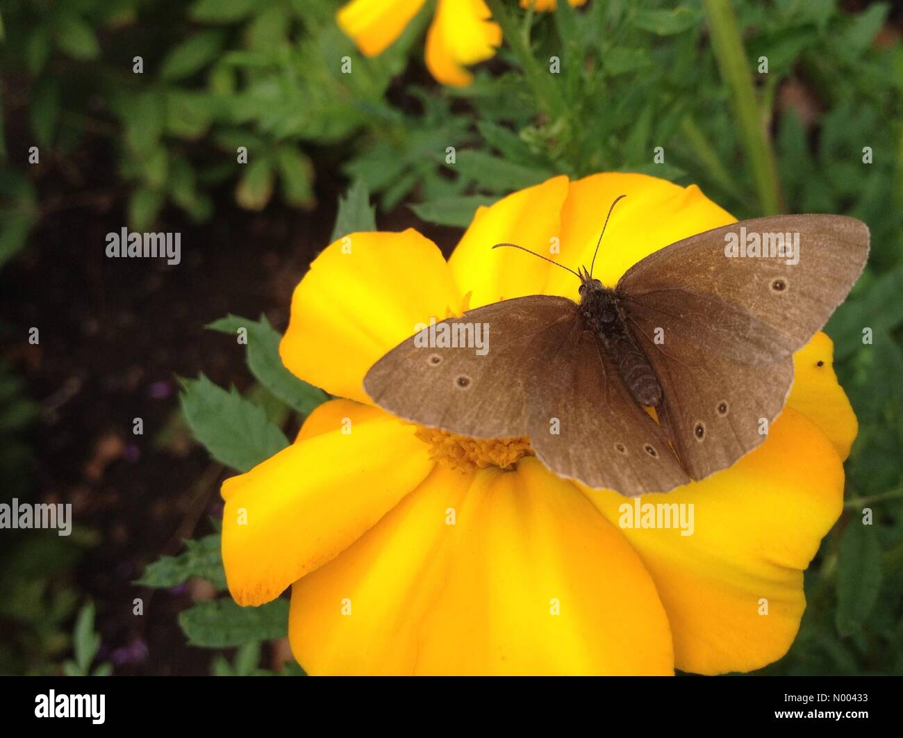 UK weather insects in Leeds, Yorkshire- the sunny spells enticed the insects out to pollinate the flowers at Golden Stock Photo