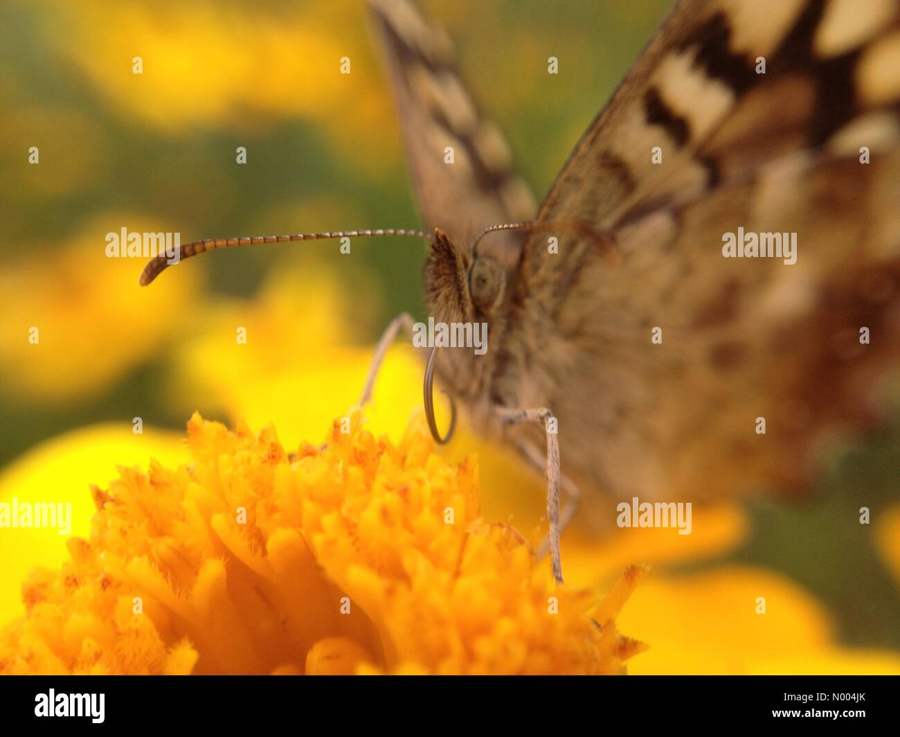 UK weather - A sunny day at Golden Acre park near Leeds, West Yorkshire. This butterfly was pollinating a flower - Stock Image