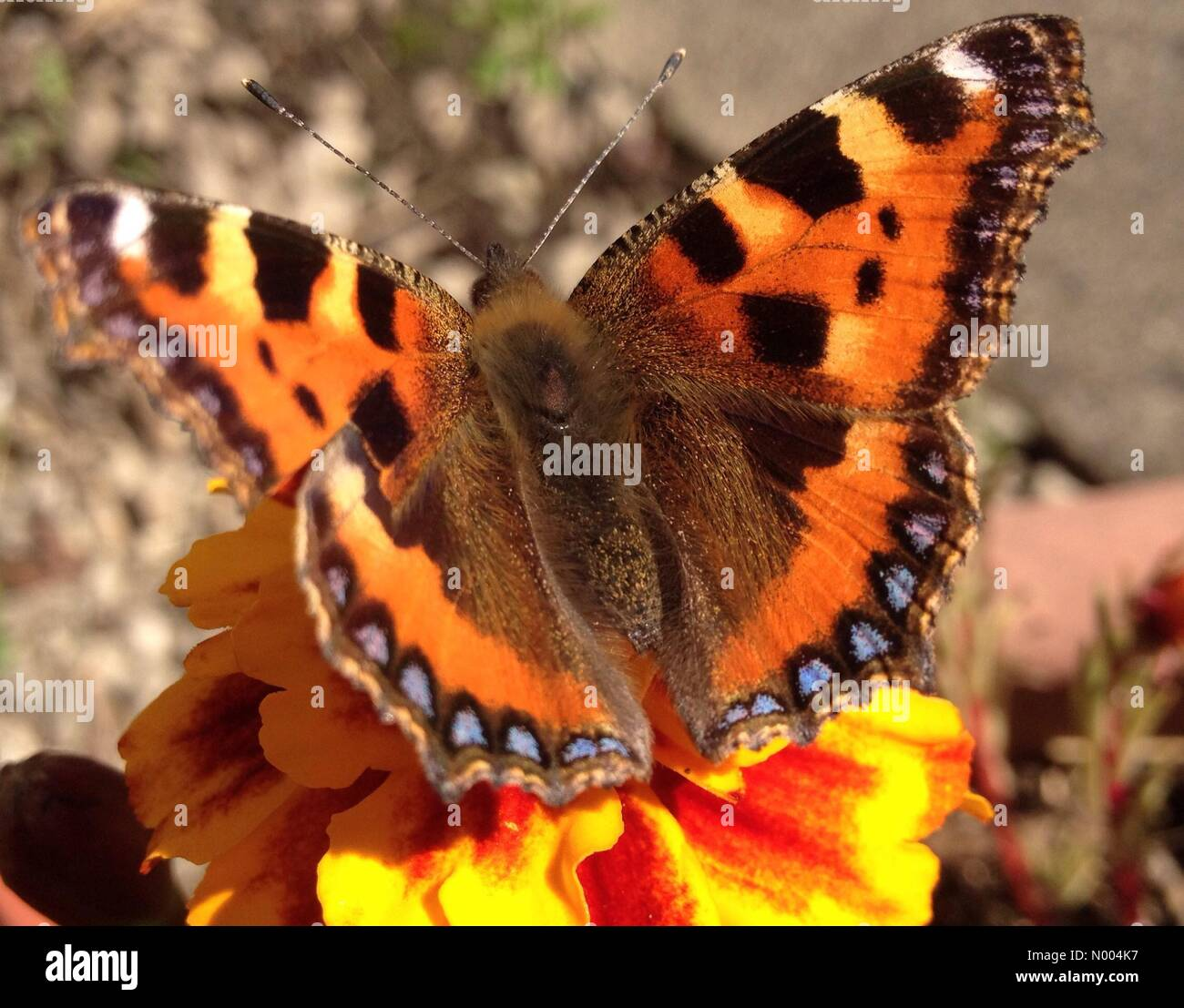 UK weather - A sunny day in Leeds, West Yorkshire. This small tortoiseshell butterfly was enjoying the warmth of - Stock Image