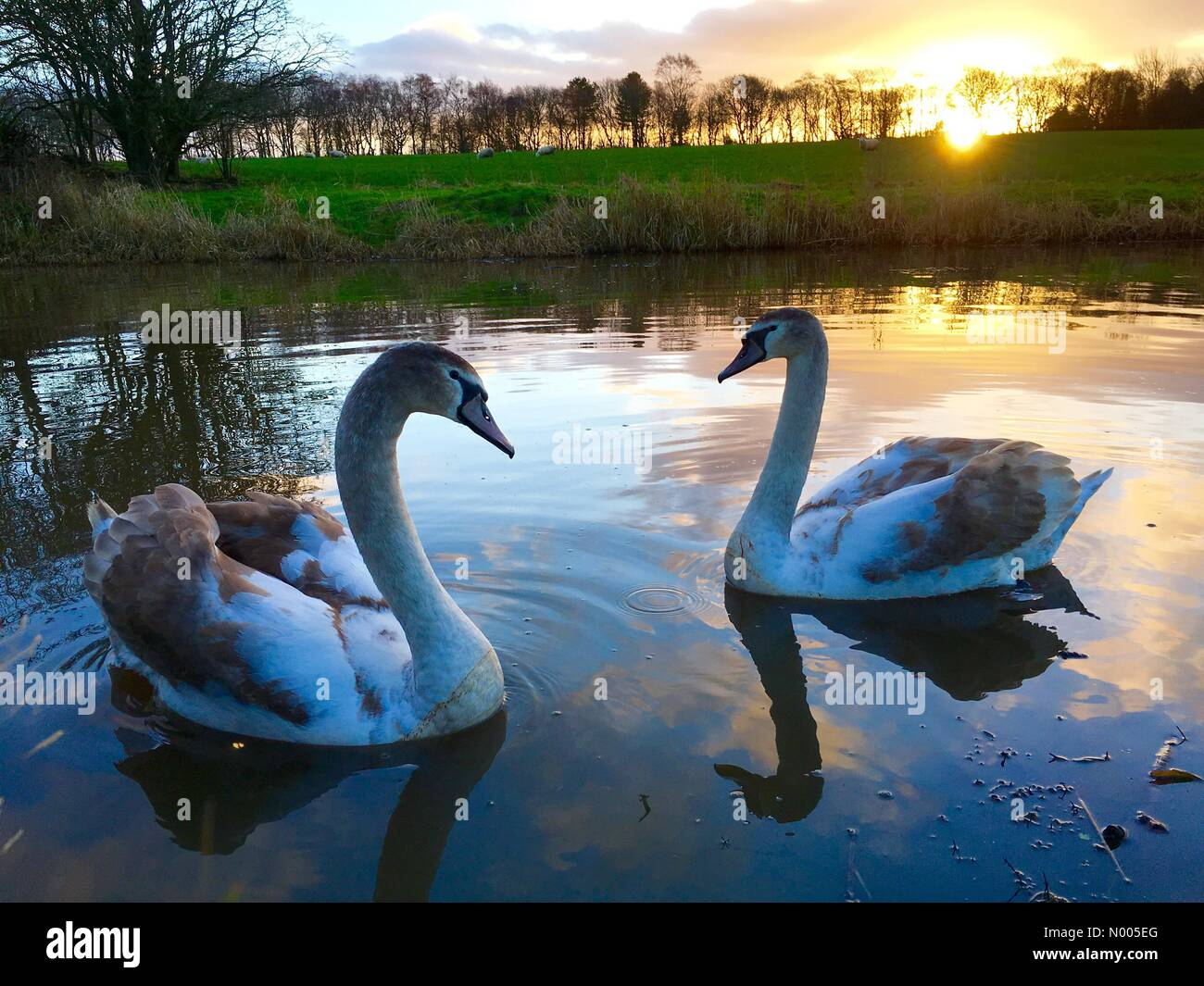 UK weather 29th December. Lovely sunrise over the Leeds and Liverpool canal at Adlington in Lancashire with swans - Stock Image