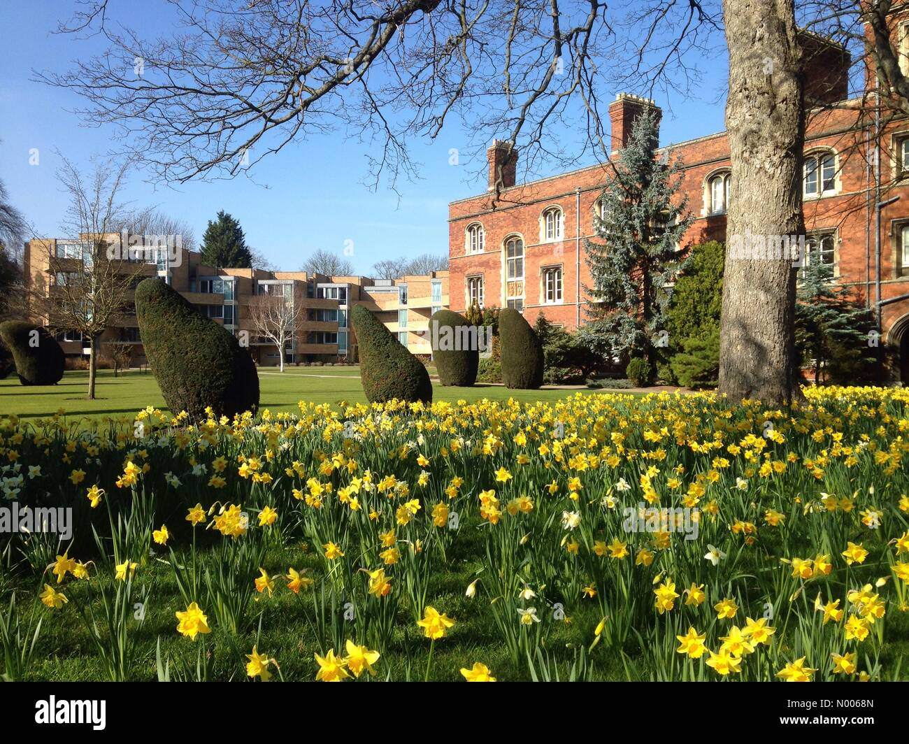 13/03/15 Jesus College, Cambridge, England, UK. Yellow Daffodils signal the arrival of spring in the United Kingdom. - Stock Image