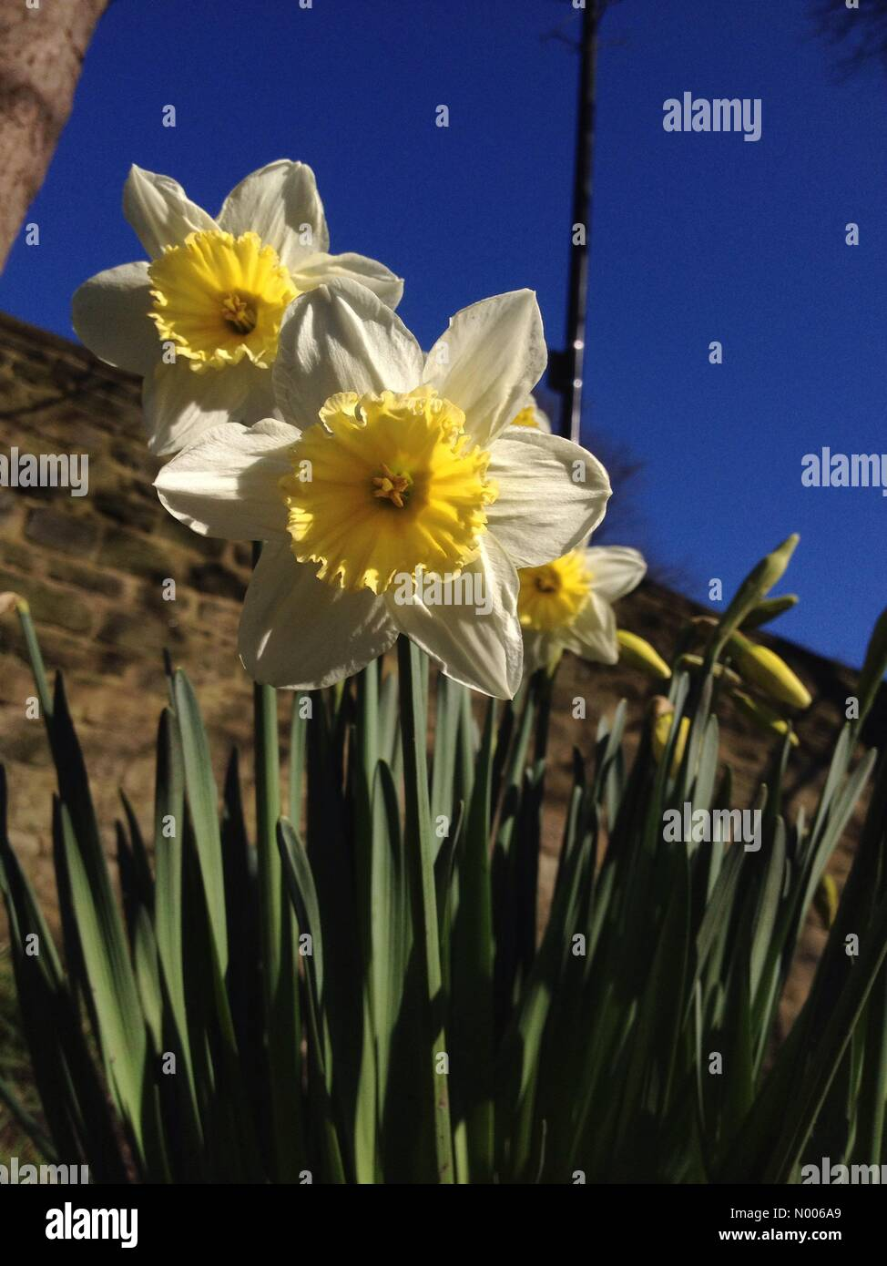 UK weather -Sunny weather added to the beauty of the spring daffodils at Kirkstall Abbey, near Leeds, West Yorkshire. - Stock Image