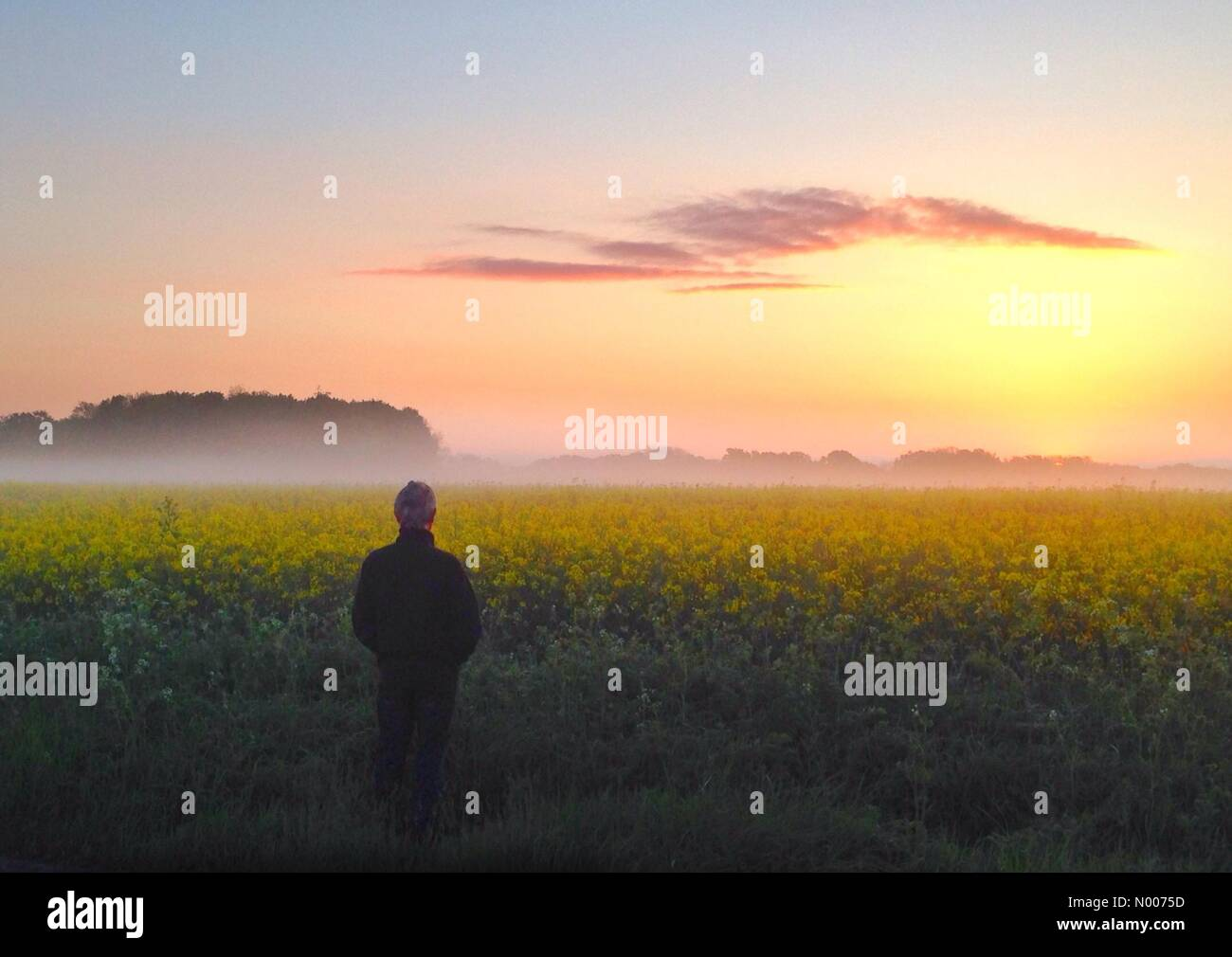 Wantage, Oxfordshire, UK. 17th May, 2016. UK Weather: Rapeseed at dawn, Wantage, Oxon Credit:  nidpor/StockimoNews/Alamy - Stock Image