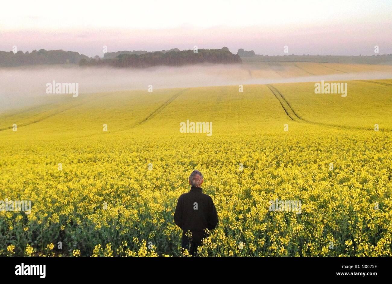 Wantage, UK. 17th May, 2016. UK Weather: Misty Rapeseed at dawn, Wantage, Oxon Credit:  nidpor/StockimoNews/Alamy - Stock Image