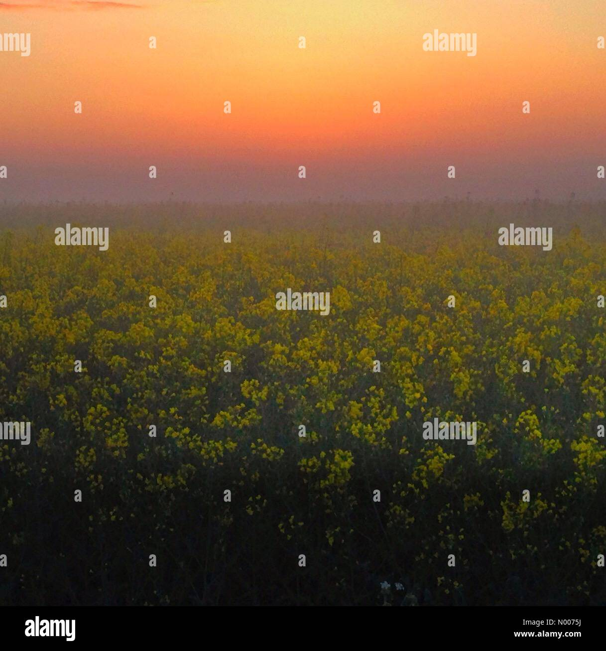Wantage, Oxfordshire, UK. 17th May, 2016. UK Weather: Misty Rapeseed at dawn, Wantage, Oxon Credit:  nidpor/StockimoNews/Alamy - Stock Image