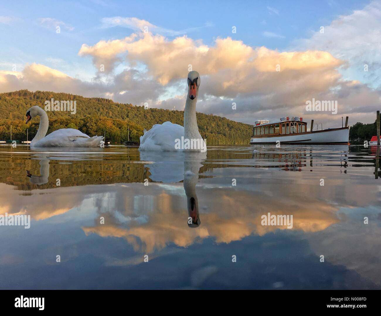 UK Weather: Early morning sun at Bowness-on-Windermere. Swan reflected in Lake Windermere - Stock Image
