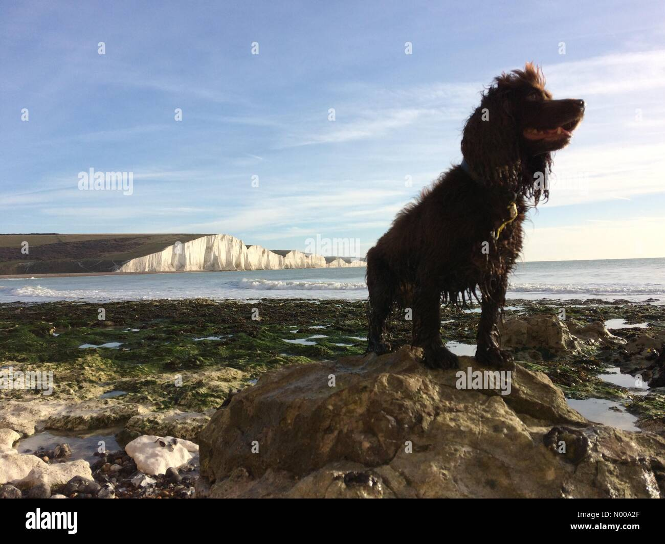 Seven Sisters, East Sussex. 26th December 2016. Cocker spaniel, Fudge, enjoying the sunny Boxing Day weather at - Stock Image