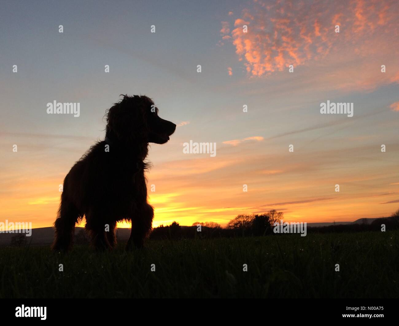 Ripe, East Sussex, UK. 3rd January 2017. Weather. Cocker spaniel, Fudge, walking at the end of a bright but cold - Stock Image