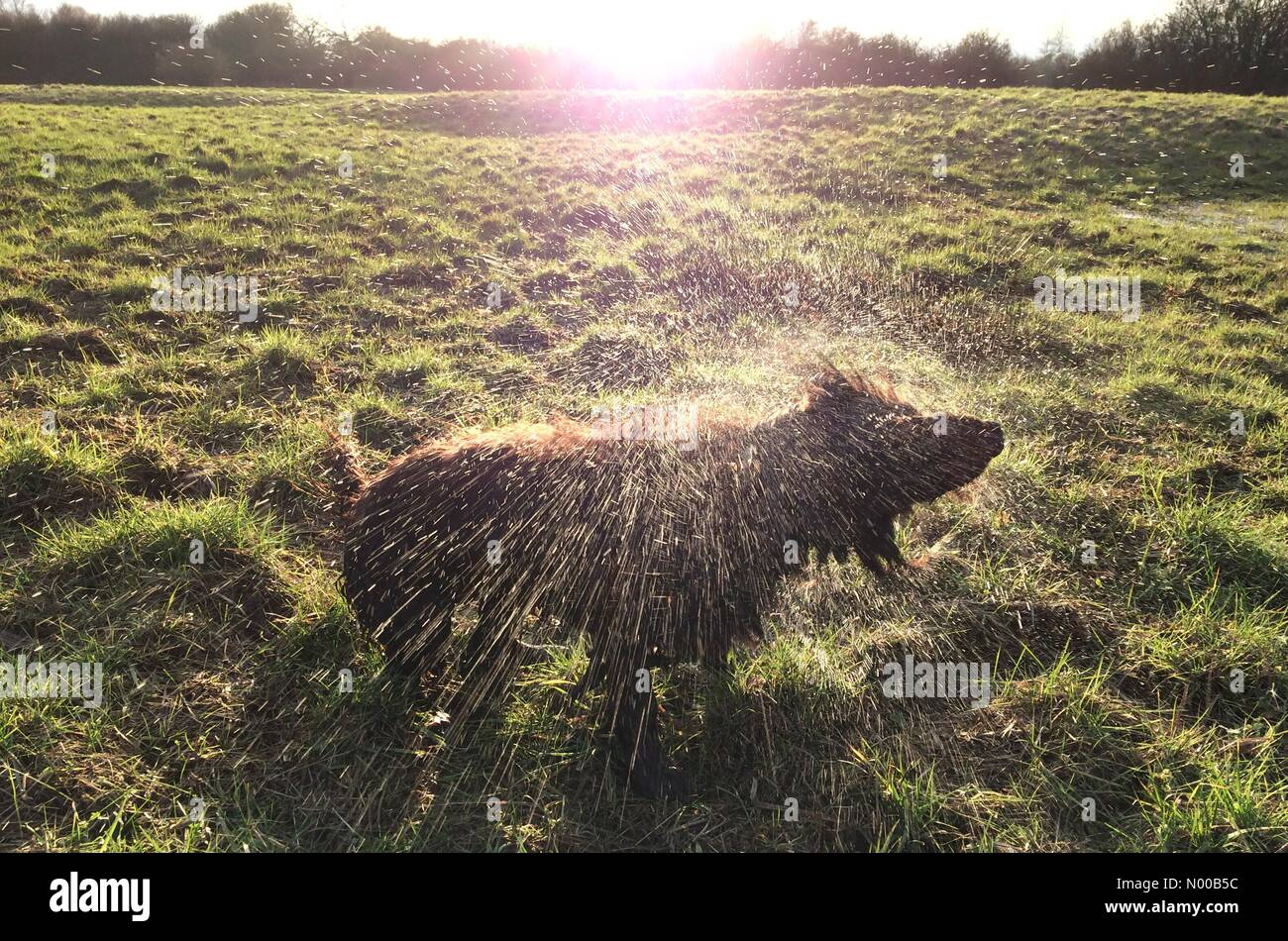 Ripe, East Sussex, UK. 16th Feb, 2017. A dog shakes in the last rays of evening sun after a swim in Ripe, East Sussex - Stock Image