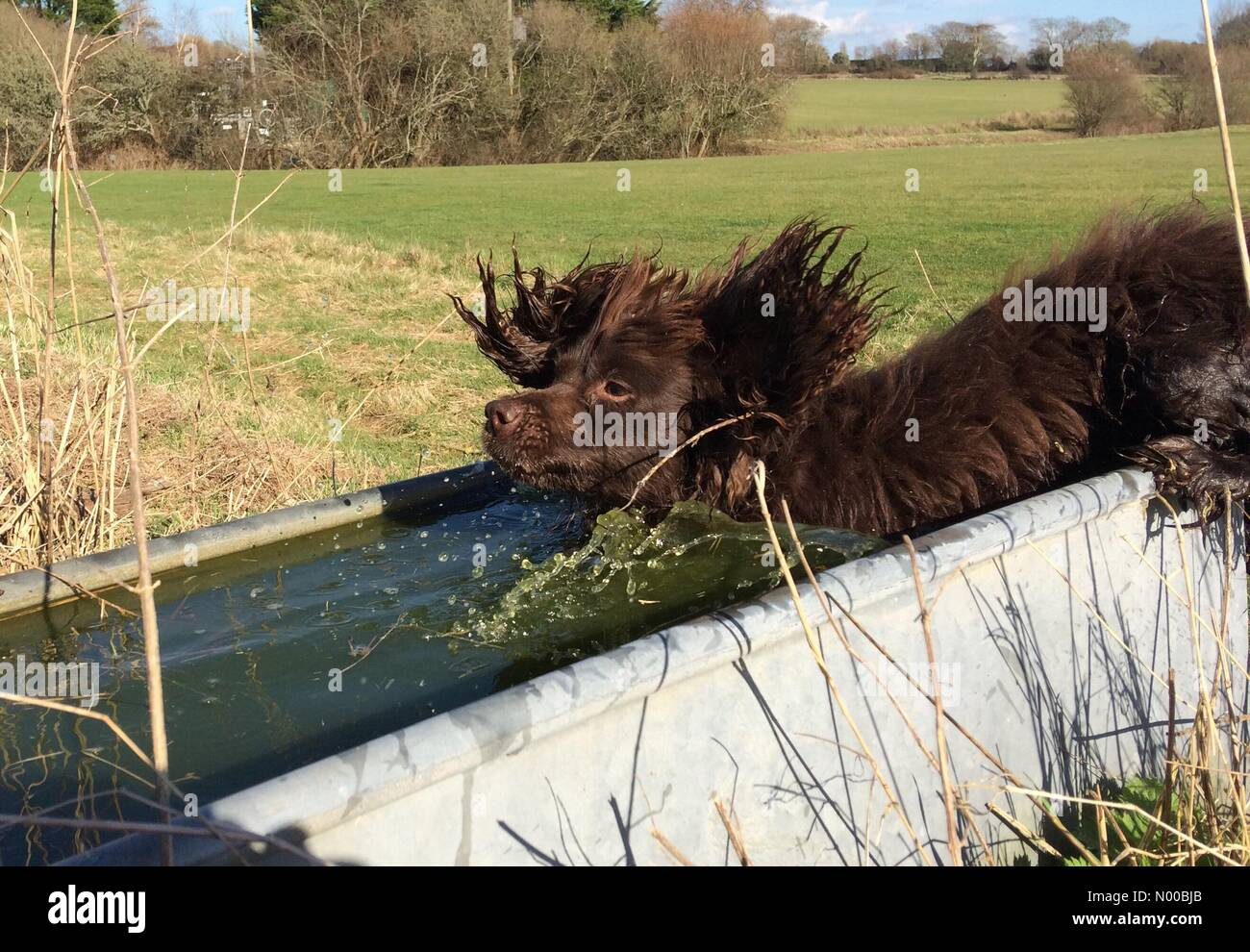Ripe, East Sussex. 9th March 2017. Cocker spaniel, Fudge, cooling off in a cattle trough at temperatures reach 16.5 - Stock Image