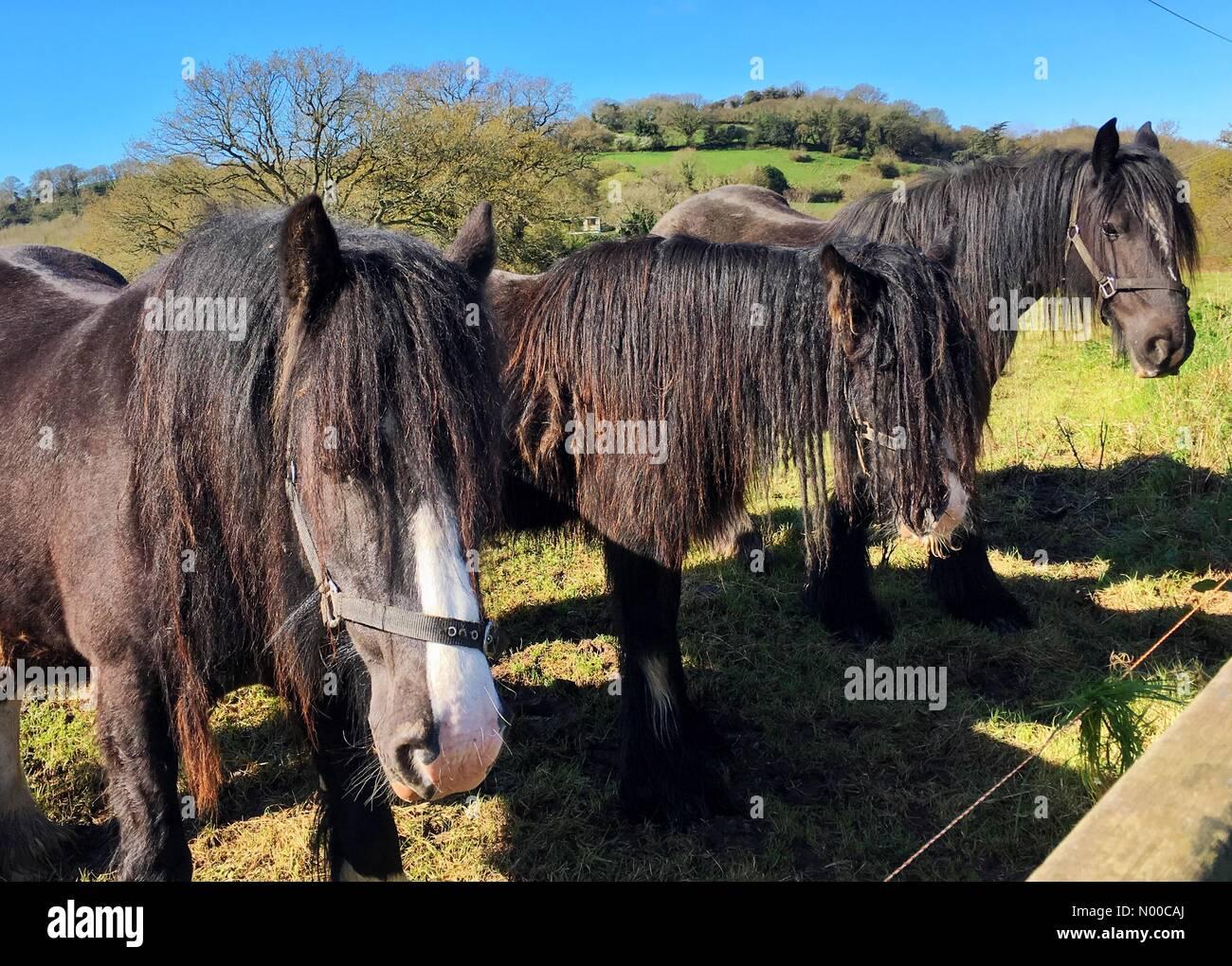 Doddiscombsleigh, Devon, UK. 02nd Apr, 2017. UK Weather: Horses enjoy blue skies at Doddiscombsleigh, Devon Credit: - Stock Image