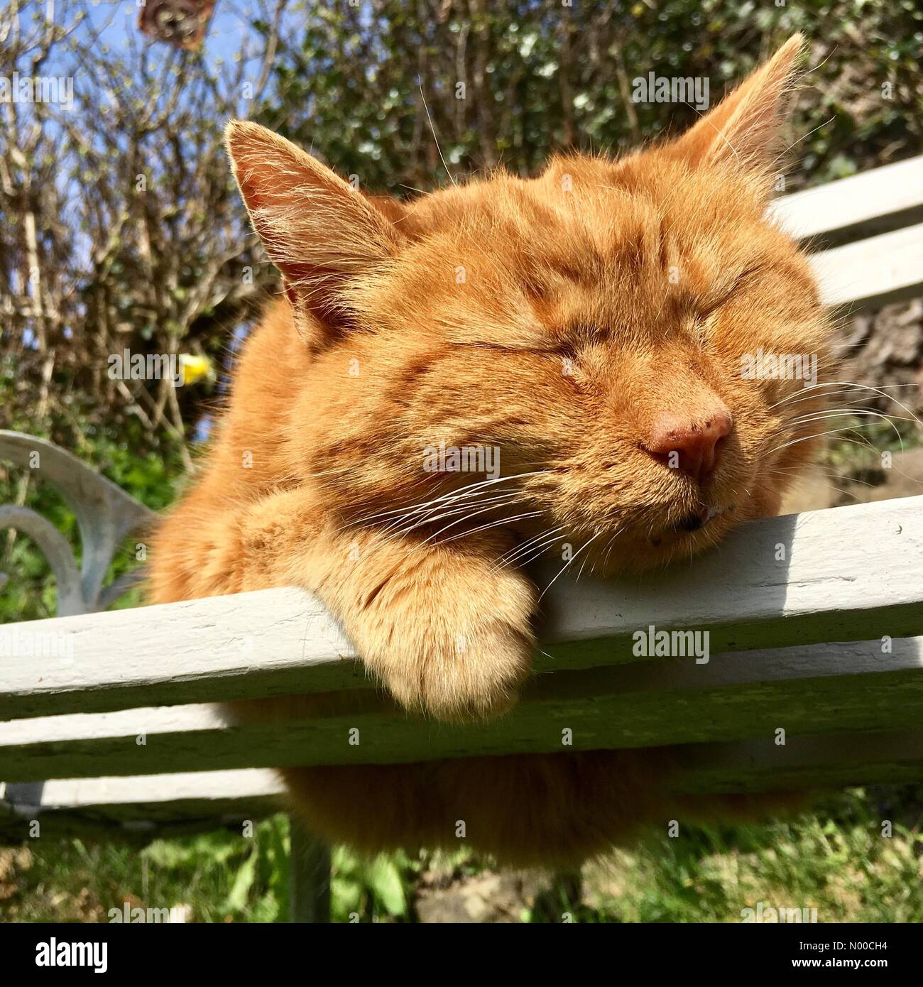 Brilliant Ginger Cat Sleeping On A Garden Bench In Hot Sunny Weather Inzonedesignstudio Interior Chair Design Inzonedesignstudiocom