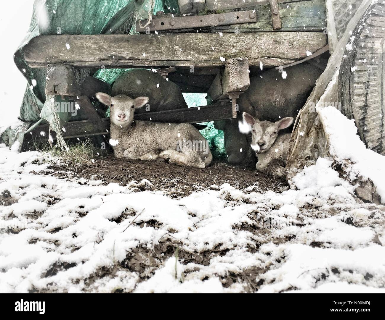 Exeter, UK. 18th Mar, 2018. UK Weather: Lambs shelter from snow in Dunsford, Devon Credit: nidpor/StockimoNews/Alamy - Stock Image