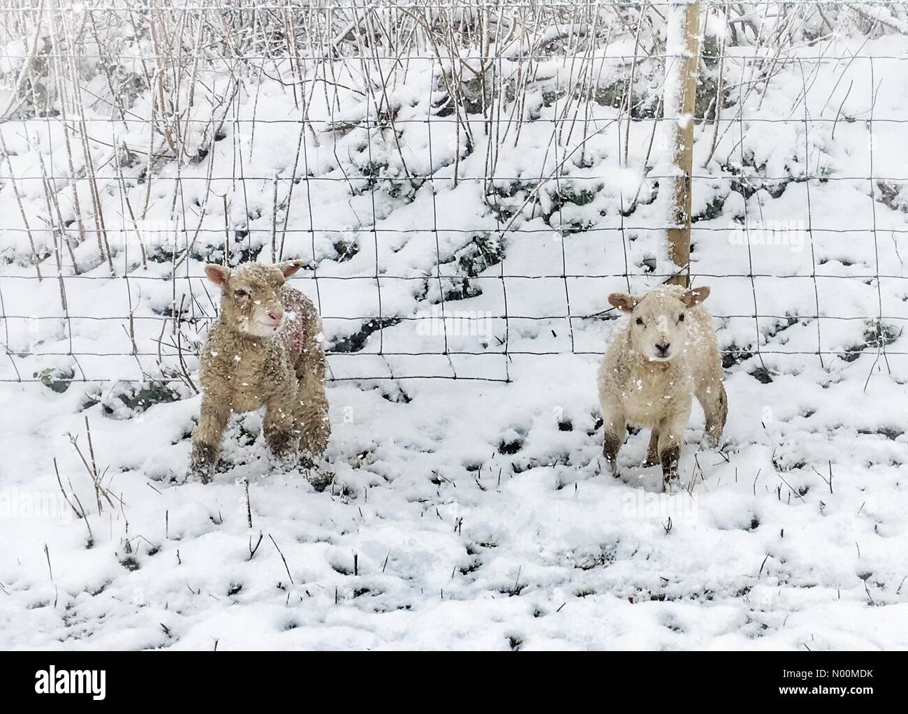 Exeter, UK. 18th Mar, 2018. UK Weather: Dunsford lambs in snow, Devon Credit: nidpor/StockimoNews/Alamy Live News - Stock Image