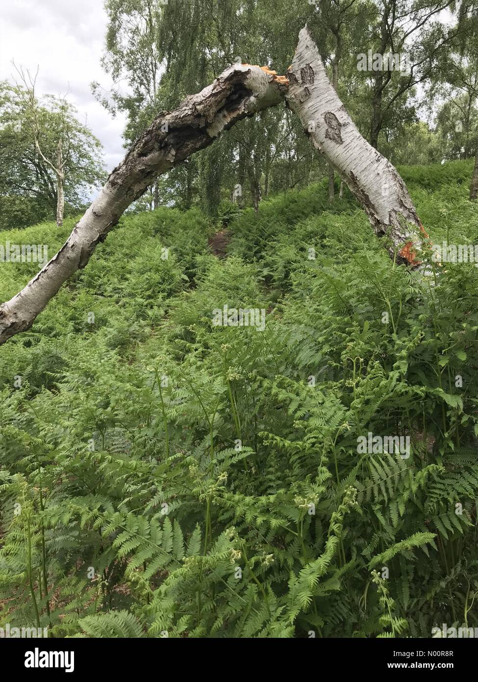 A recent spate of tree vandalism on Cannock Chase, Staffordshire. Tree has been snapped in half and bark stripped on the lower trunk. Damage occurred Friday 15th June - Stock Image