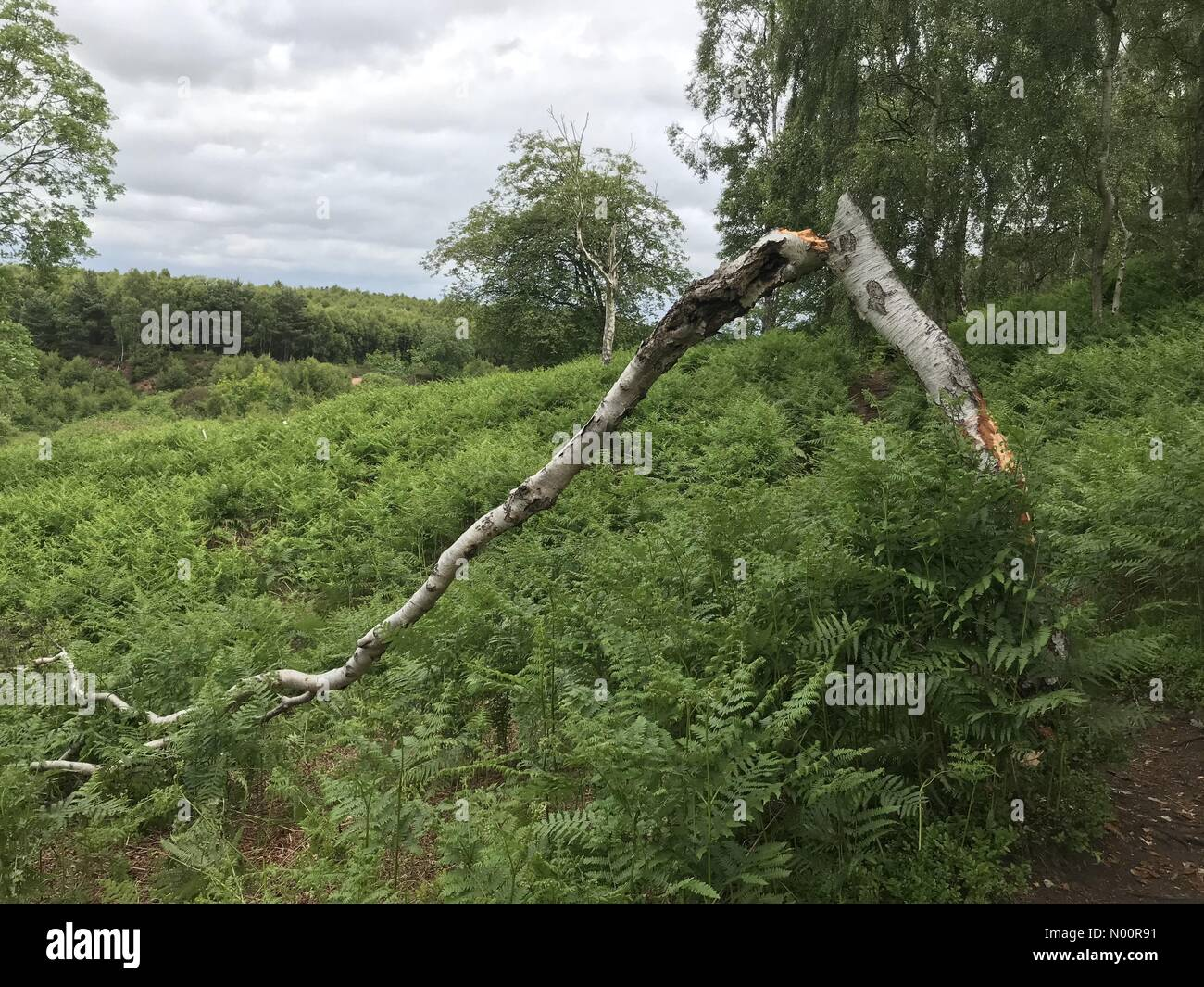 A recent spate of tree vandalism on Cannock Chase, Staffordshire. Tree has been snapped and bark stripped on the lower trunk. Damage occurred Friday 15th June - Stock Image