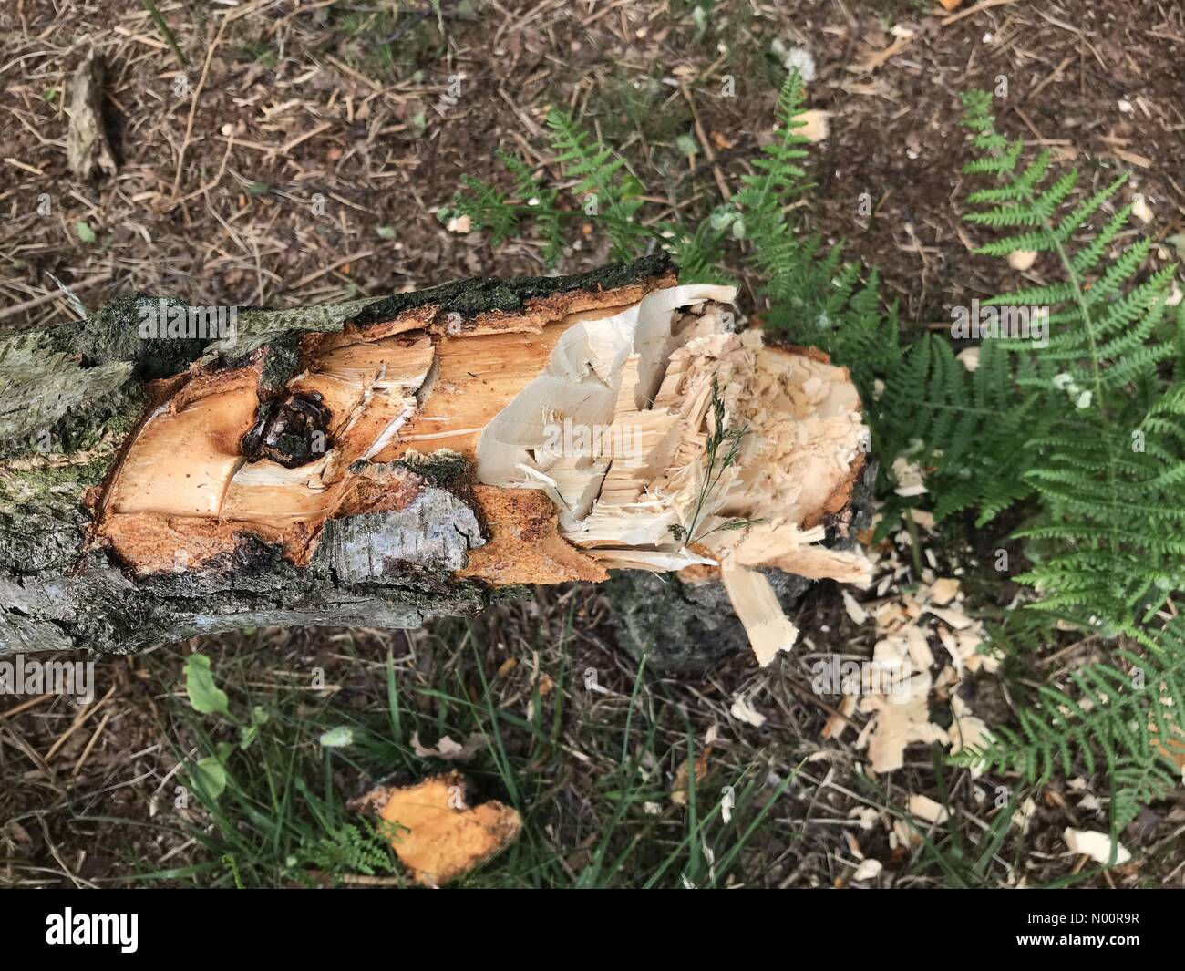 A recent spate of tree vandalism on Cannock Chase, Staffordshire. Tree has been cut with an axe. Damage occurred Friday 15th June - Stock Image
