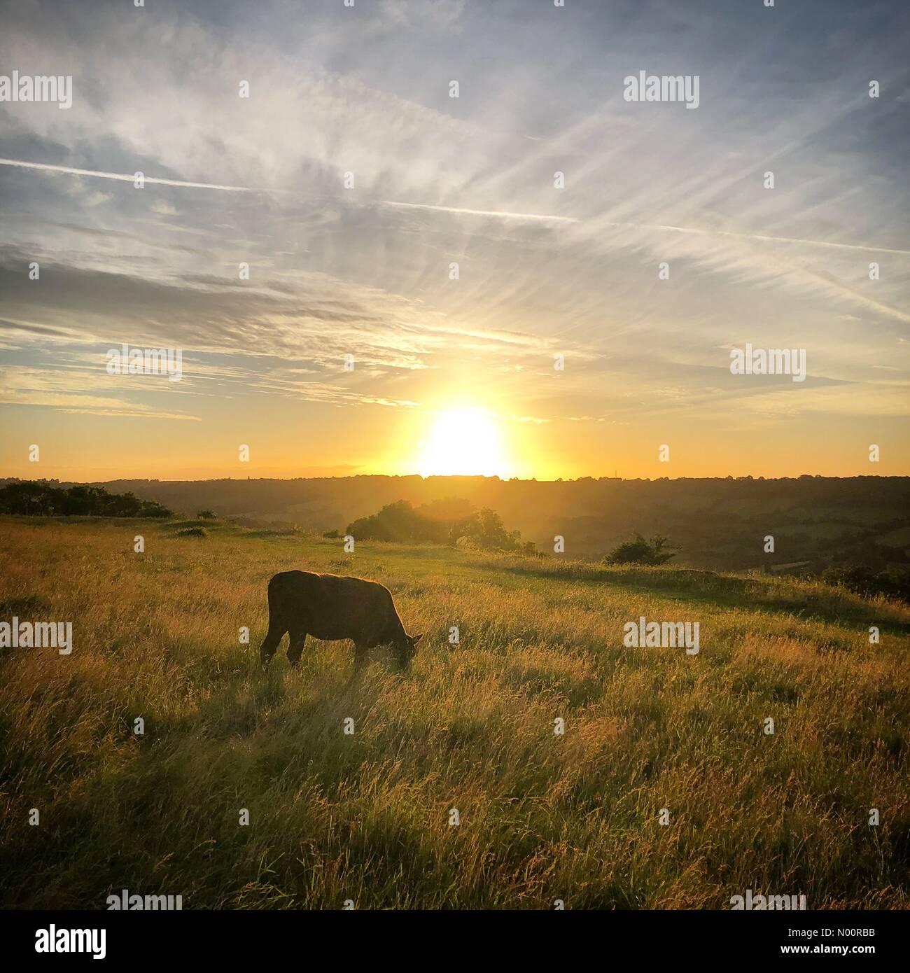 Batheaston, Bath, UK. 21st June, 2018. A cow grazing during the ...