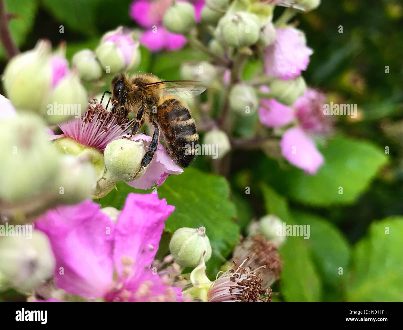 Somerset, UK. 13th July, 2019. Honey bee pollinates a wild blackberry flower in Batheaston, Somerset, UK. Credit: Richard Wayman / StockimoNews/Alamy Live News Stock Photo