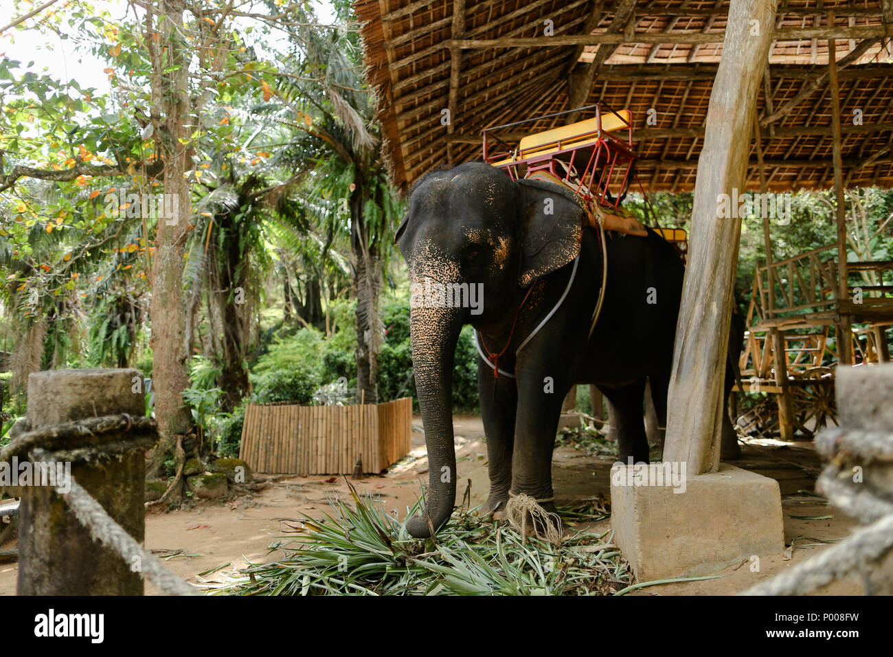 Domesticated and tied big elephant standing with saddle. - Stock Image