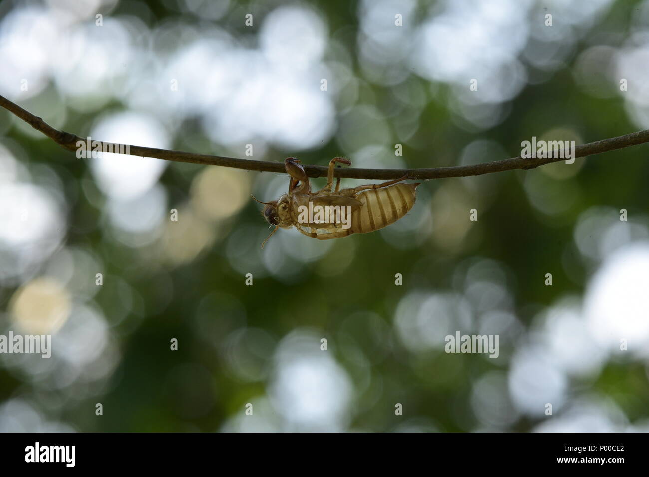 Cicada In The Wildlife Nature Habitat Using As A Background