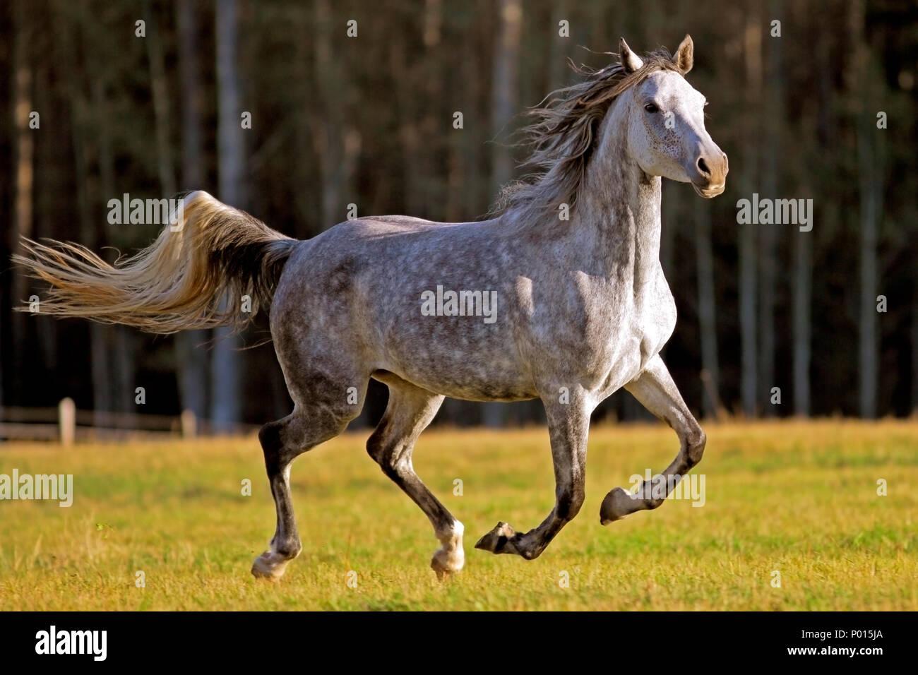 Beautiful gray dapple Arabian Mare galloping in meadow, late afternoon sunlight. - Stock Image